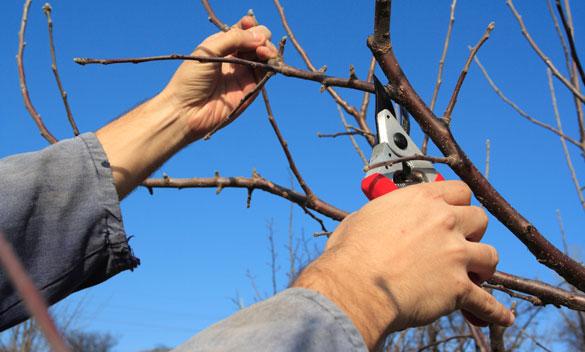 prune branch